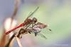 Ruddy Darter (Sympetrum sanguieneum)