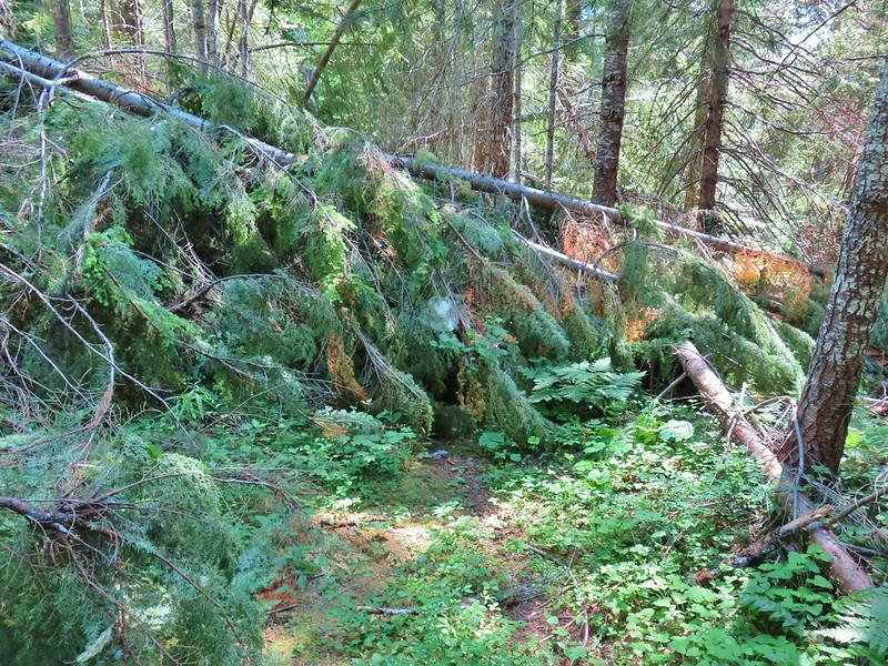 Blowdown over the Riggs Lake Trail