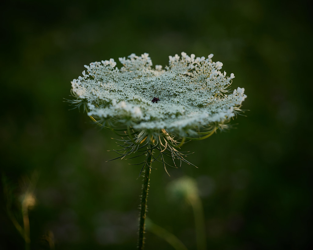 Queen Anne's Lace, at dusk