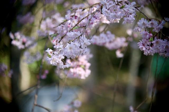 枝垂れ桜 / Cherry Blossoms       Kern Paillard Yvar 75mm F 2.8