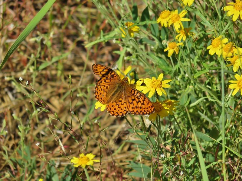 Butterfly on Oregon sunshine