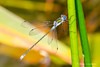 Common Emerald Damselfly-11.jpg