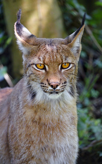 Another portrait of the female lynx
