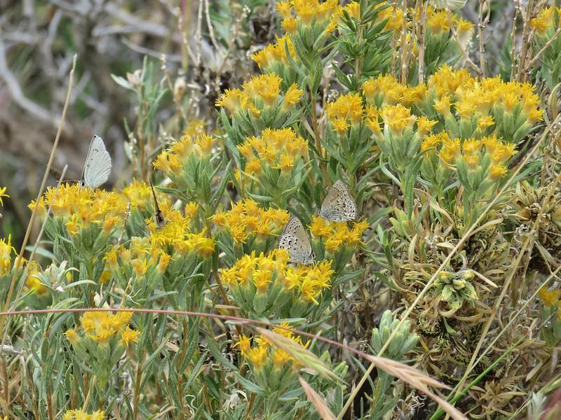 Butterflies on rabbitbrush