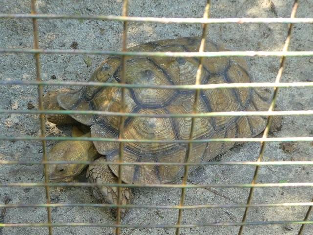 Ardastra Gardens and Zoo - Sulcata Tortoise