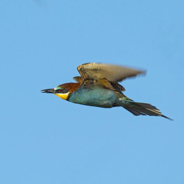 Abejaruco europeo (Merops apiaster) European bee-eater