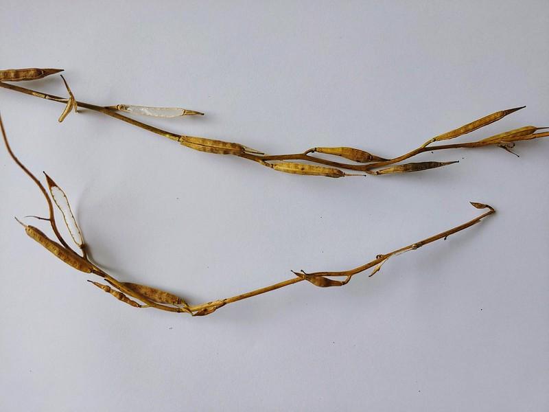 Harvesting arugula seeds
