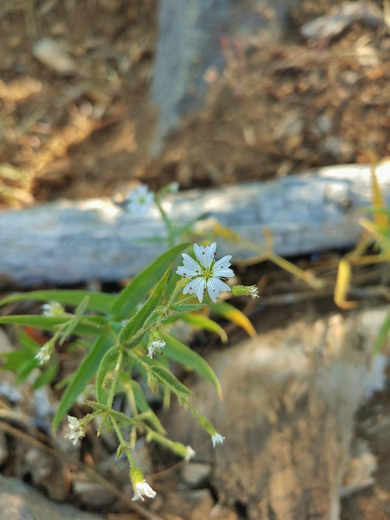 Sticky sandwort