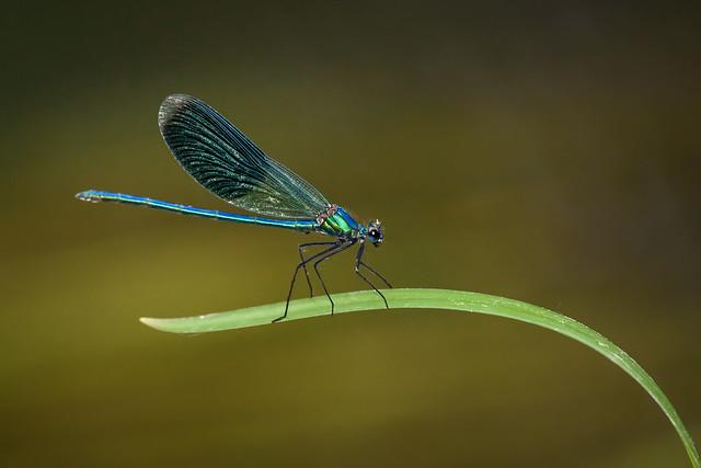 Gebänderte Prachtlibelle (Calopteryx splendens) 0399