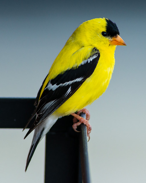 Morning visitor!! American Goldfinch (Spinus tristis) sitting content.