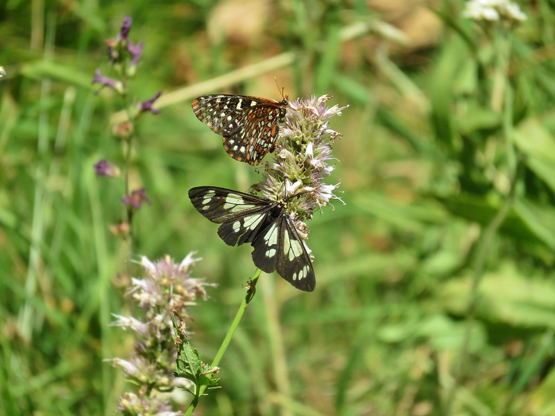 Policecar moth and butterfly
