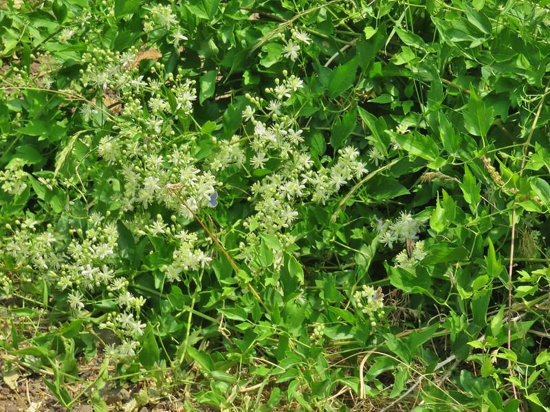 Butterflies on wildflowers in DeGarmo Creek