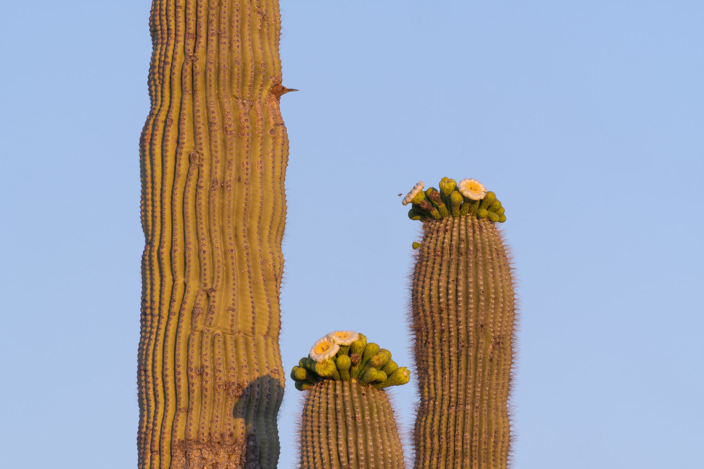 A male Gila woodpecker looks out while a honeybee hovers above a saguaro blossom near the 118th Street Trail in McDowell Sonoran Preserve in Scottsdale, Arizona in May 2020