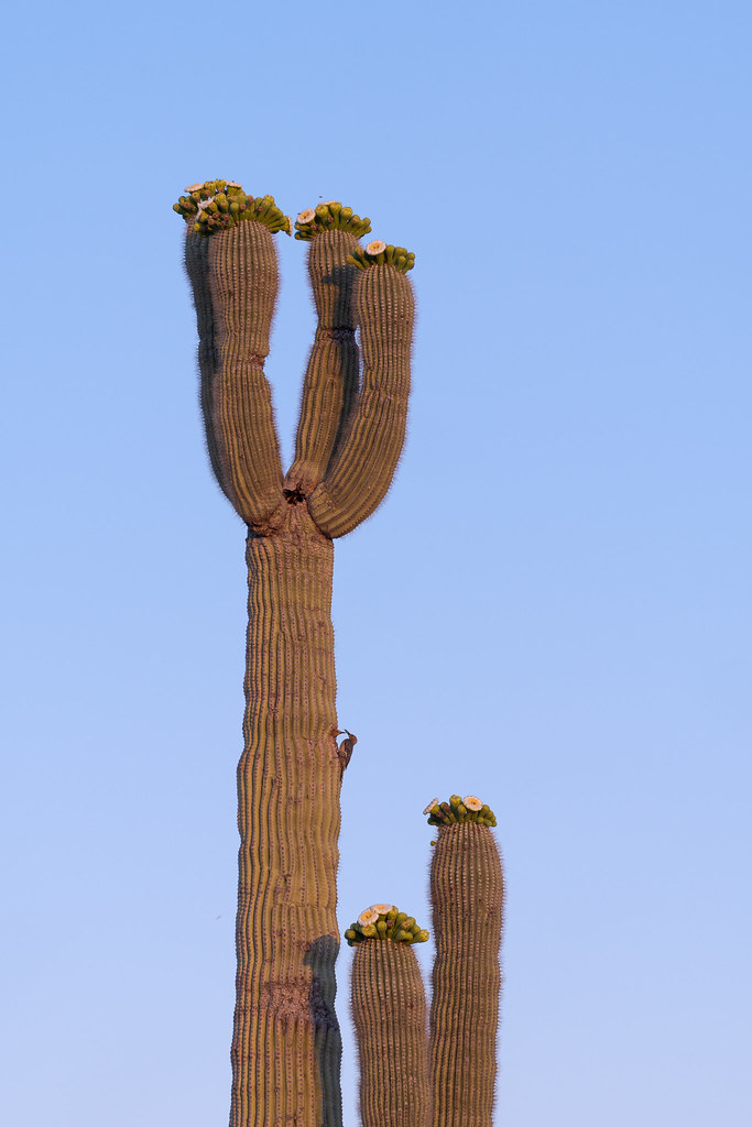 A female Gila woodpecker perches outside their nest in a saguaro as the male prepares to leave on the 118th Street Trail in McDowell Sonoran Preserve in Scottsdale, Arizona in May 2020
