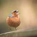 Angry Bird ッ