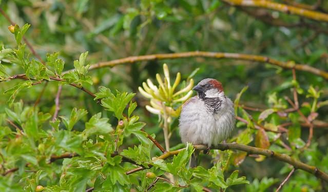 House sparrow..Norfolk