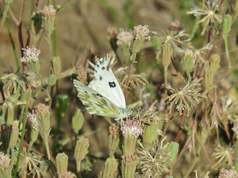 Butterfly on dustymaiden