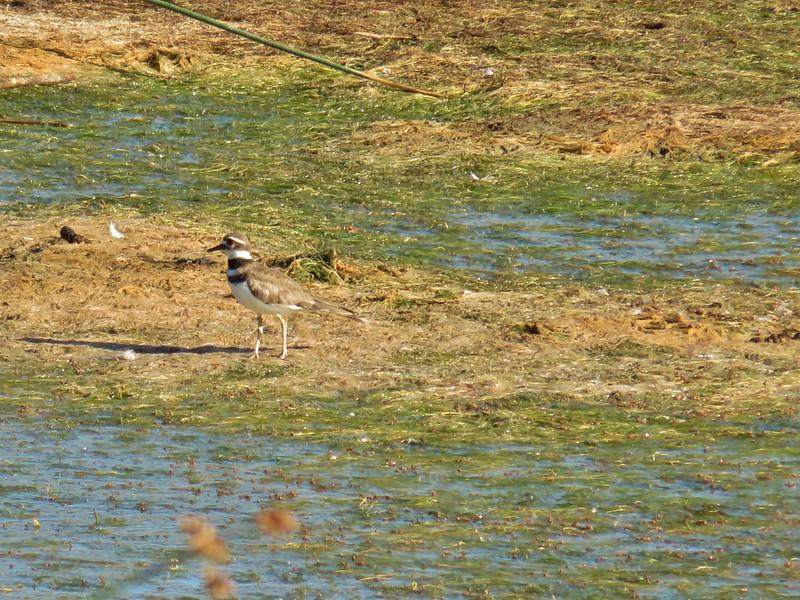 Killdeer at Summer Lake Wildlife Area
