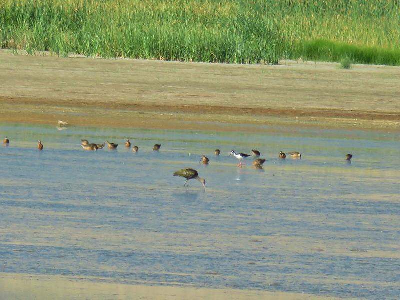 Various birds including a white faced ibis and a black necked stilt