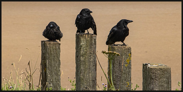 Three Wise Crows