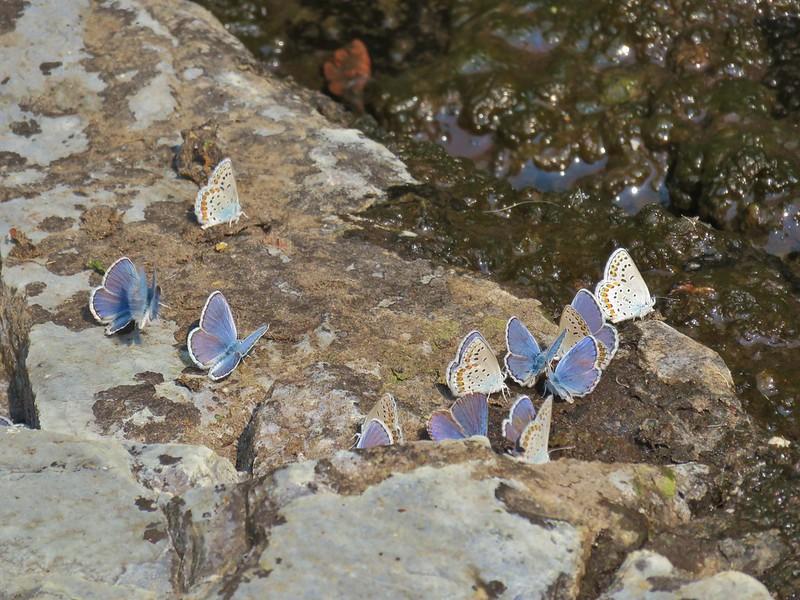 Butterfleis along DeGarmo Creek