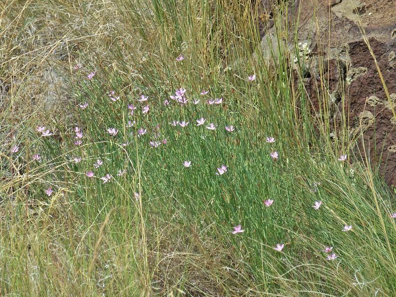 Wildflowers along the Warner Valley Overlook Loop