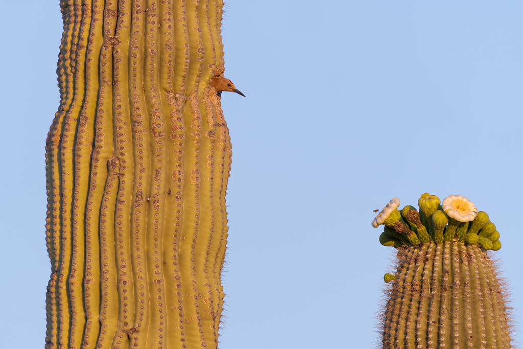 A male Gila woodpecker looks down at a honeybee hovering above a saguaro blossom near the 118th Street Trail in McDowell Sonoran Preserve in Scottsdale, Arizona in May 2020