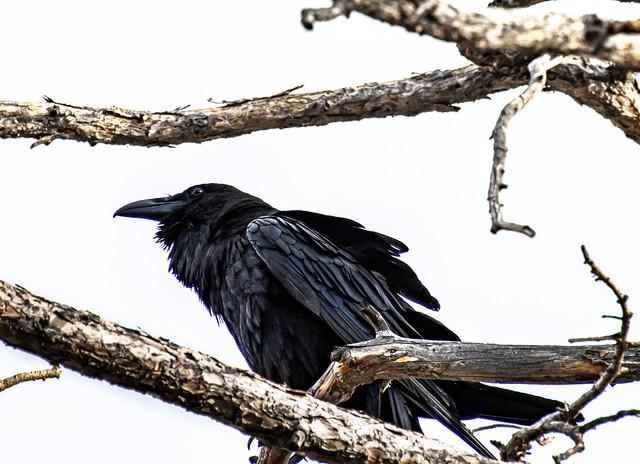 Raven IMG_1318