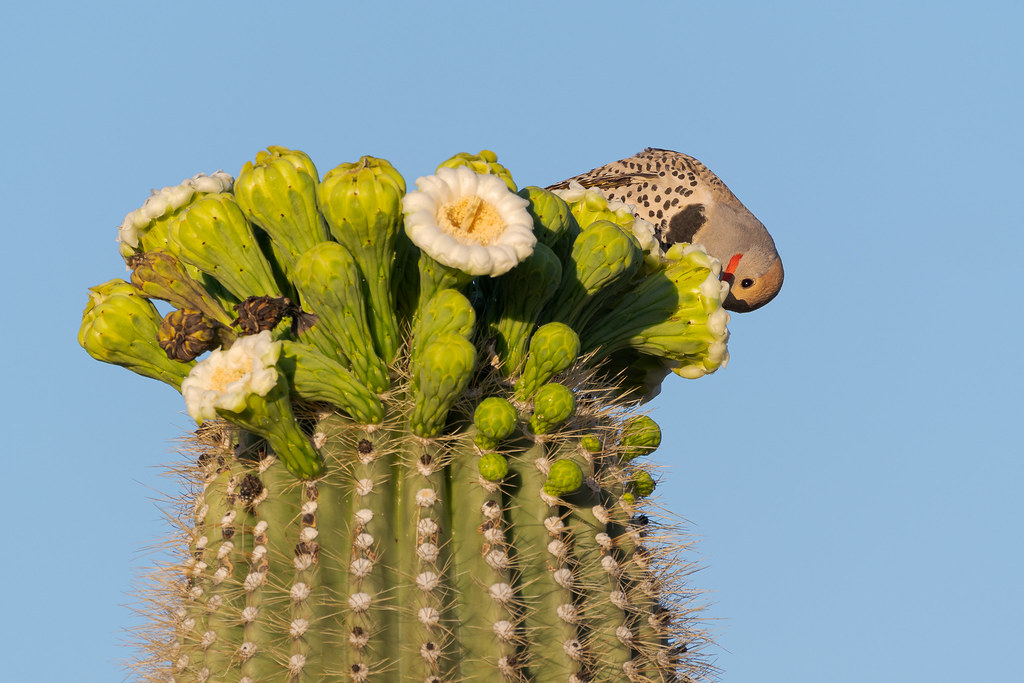 A male gilded flicker prepares to eat headfirst from a saguaro blossom on the Chuckwagon Trail in McDowell Sonoran Preserve in Scottsale, Arizona in May 2020