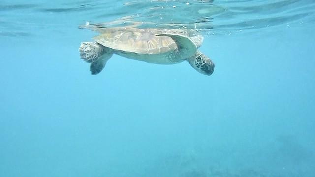 A Hawaiian Green Turtle, Maui