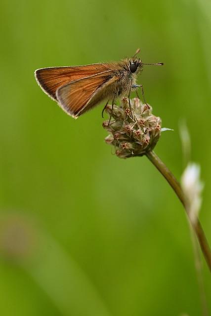 Small skipper (Thymelicus sylvestris)