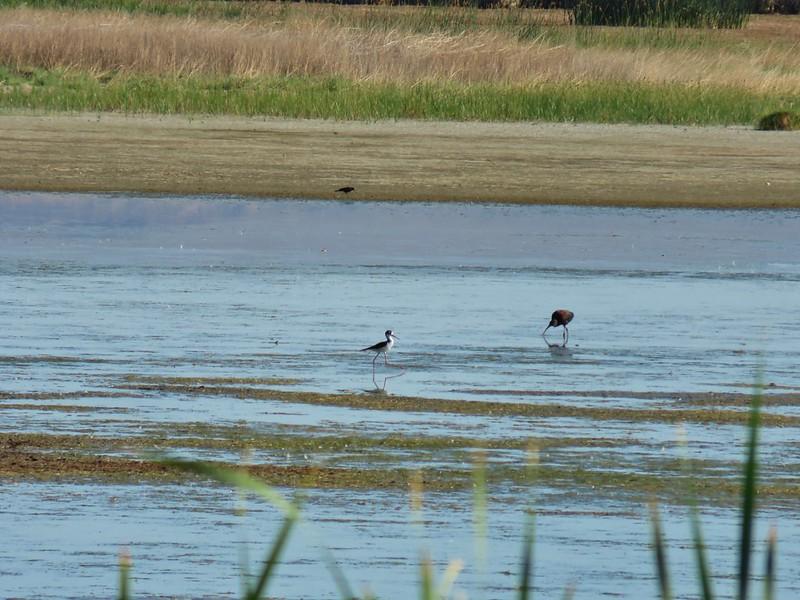 Black necked stilt and a white faced ibis