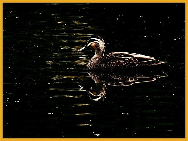 Pacific Black Duck. Happy Slider Sunday!