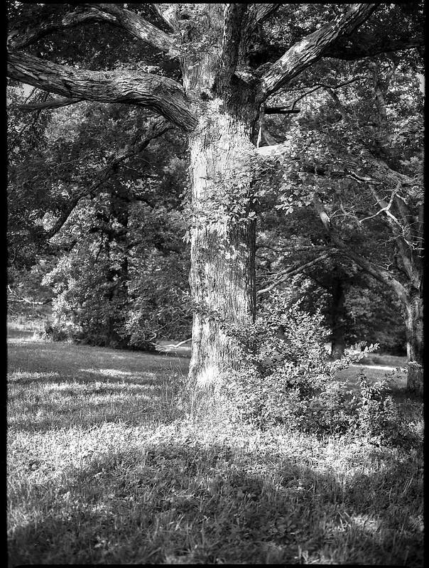 tree form, strong summer light, late afternoon,  Biltmore Estate, Asheville, NC, Mamiya 645 Pro, Fomapan 200, Moersch Eco film developer, 7.20.20
