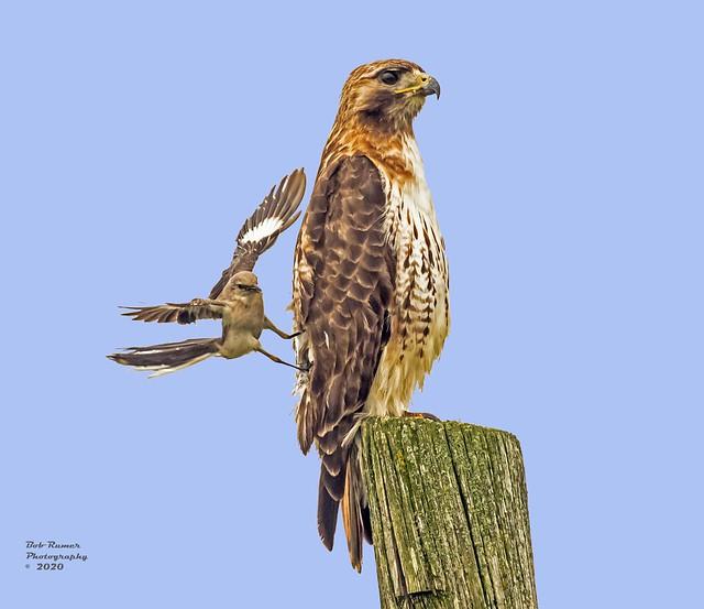 Red-tailed Hawk & Mocking Bird