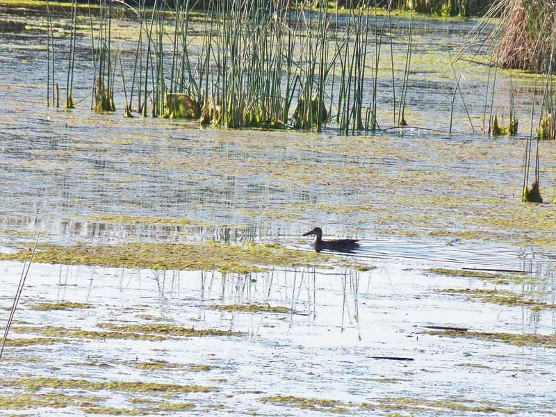 Duck at Summer Lake Wildlife Area