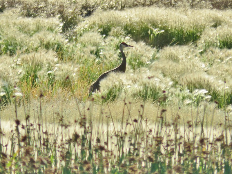 Sandhill crane at Summer Lake Wildlife Area