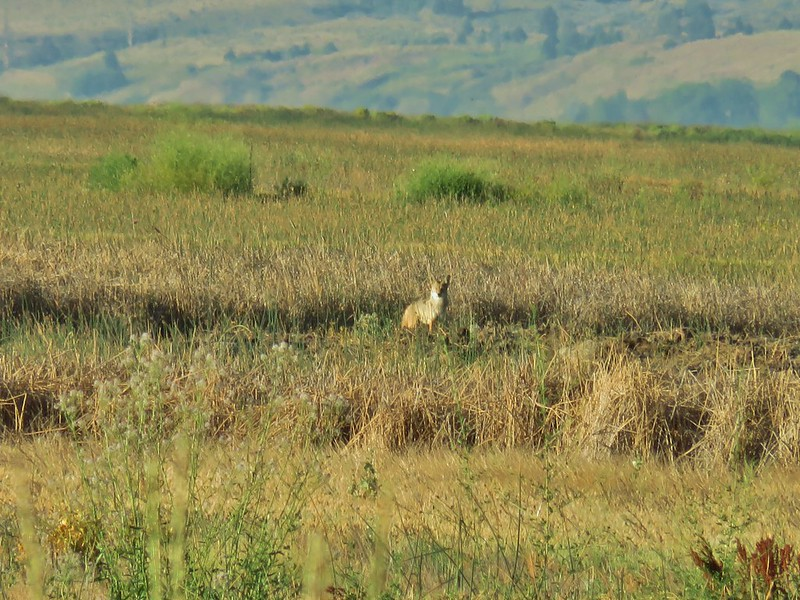 Coyote at Summer Lake Wildlife Area