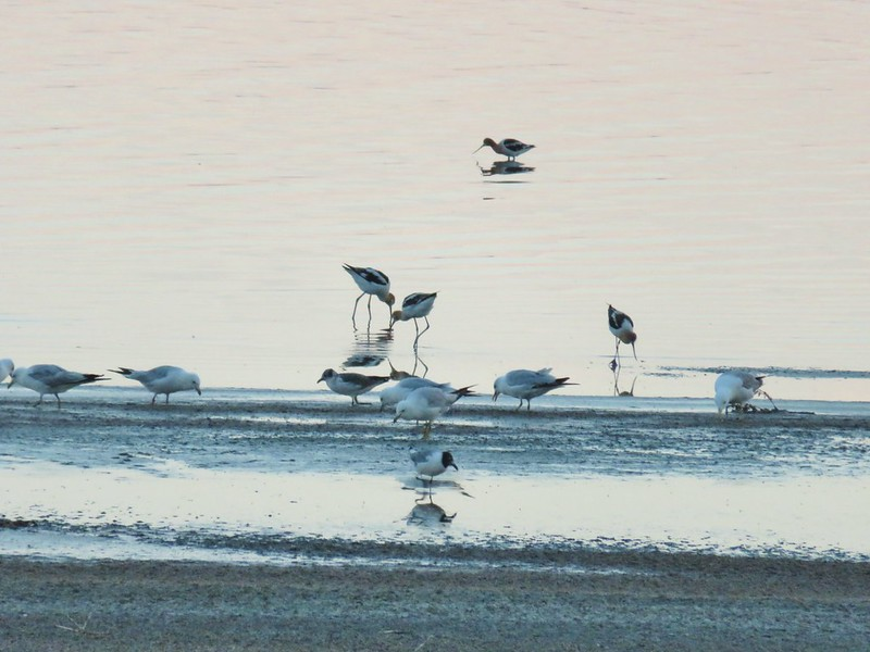 Gulls and American avocets at Lake Abert Watchable Wildlife Area