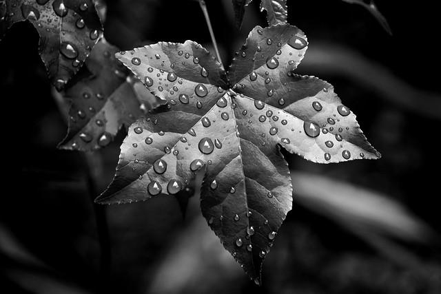 IMG_0014 Sweetgum and Rain