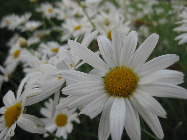 An Explosion of White Ox-Eye Daisies