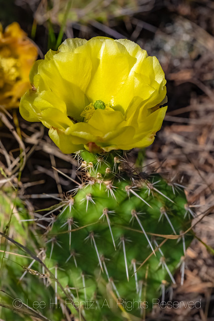 Prickly Pear at Theodore Roosevelt National Park