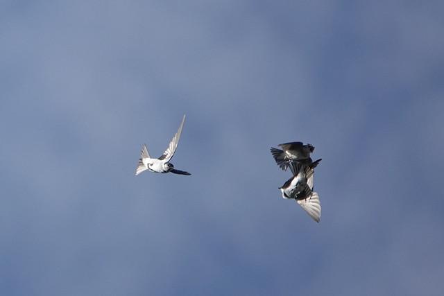 Violet Green Swallow Battle 7