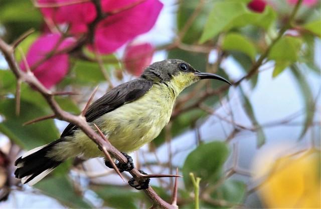 Olive-backed Sunbird. Желтобрюхая нектарница.