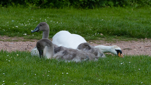 Swans lying down for a snack