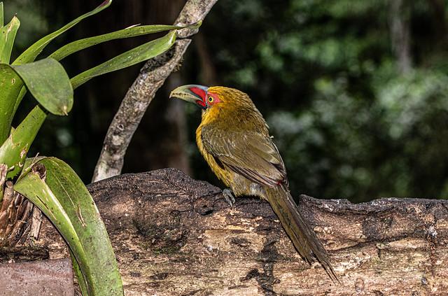 Toucan de Baillon / Saffron Toucanet