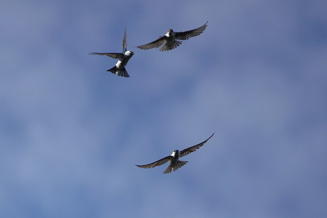 Violet Green Swallow Battle 8