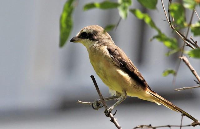 Brown Shrike. Сибирский жулан.