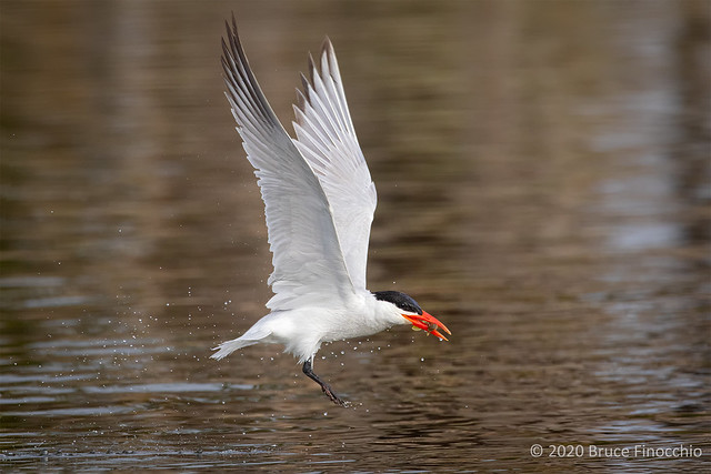 With A Lift Of Its Wings A Caspian Tern Lifts Off The Water With A Small Fish In Its Beak