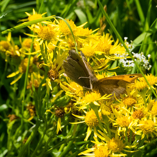 Meadow browns fighting over flower
